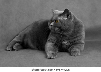 A gray-haired cat with yellow eyes lies on a gray background and