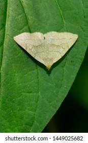 Grayish Fan-Foot Moth resting on a green leaf. Taylor Creek Park, Toronto, Ontario, Canada.