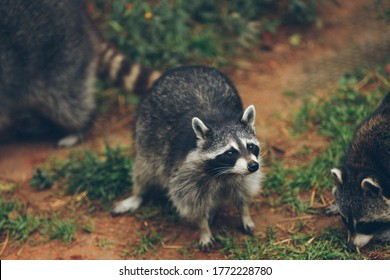 a grayish-brown American mammal that has a foxlike face with a black mask and a ringed tail.