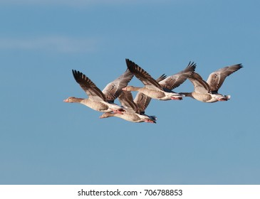 Graylag Geese flying in formation. Photo taken in Klagshamn Nature preserve south Sweden