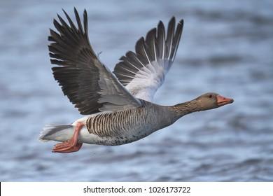 graylag goose [Anser anser]