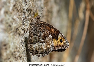 Grayling butterfly - Hipparchia semele, beautiful colored brush-footed butterfly from European meadows and grasslands, Havraniky, Czech Republic.