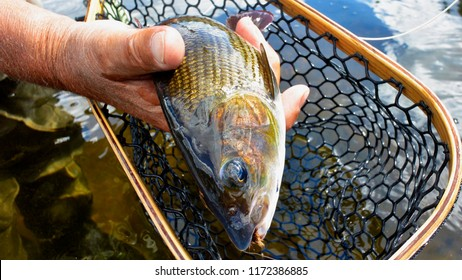 Grayling, Catch & Release
