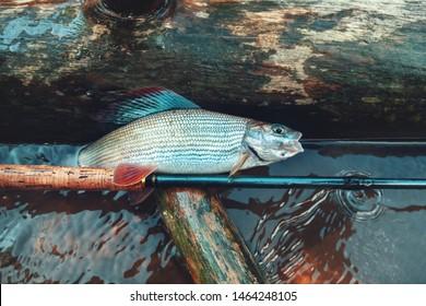 Grayling caught in the creek. Tenkara fishing.