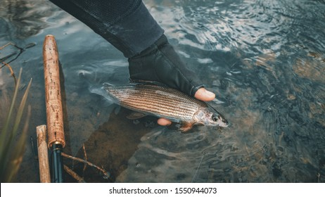 Grayling caught in the fly