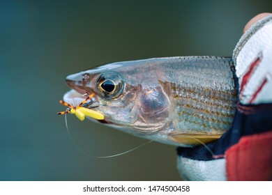 Grayling is caught on a dry fly. Fly Fishing.