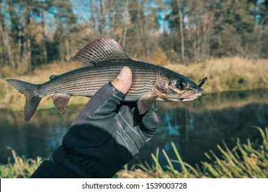 Grayling is caught in a wet fly. Fly fishing and tenkara.