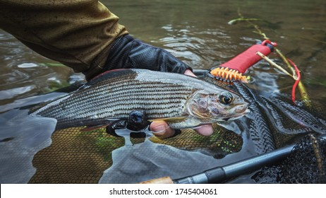 Grayling in clear river water. Fly fishing and tenkara.