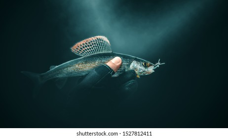 Grayling close-up on a dark background.