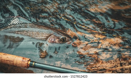 Grayling is fly fishing in a stream.