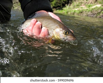 Grayling in the hand of an angler. Caught on a fly in a wild river
