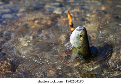 Grayling on a fishing line with a fly.