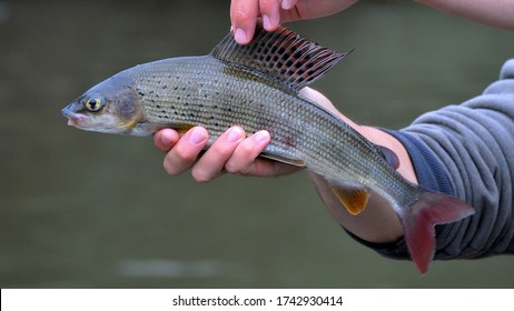The grayling (Thymallus thymallus) is the main destination for fly fishing on the rivers of Slovakia