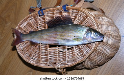 The grayling (Thymallus thymallus) is a species of freshwater fish in the salmon family Salmonidae. The grayling is an attractive fish for fly fishing, Liptov region, Slovakia