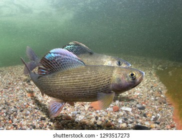 Grayling (Thymallus thymallus). Swimming freshwater fish Thymallus thymallus, underwater photography in the clear water. Live in the mountain creek. Beautiful river habitat.
