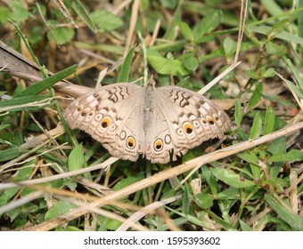 Gray-Pansy,Junonia atlites sitting on the grass.