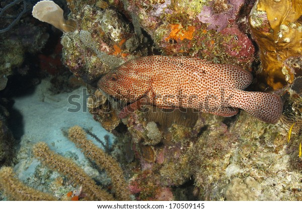 Graysby (Epinephelus cruentatus) Swimming on a Coral Reef - Bonaire