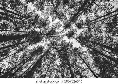 A grayscale low angle shot of tall trees