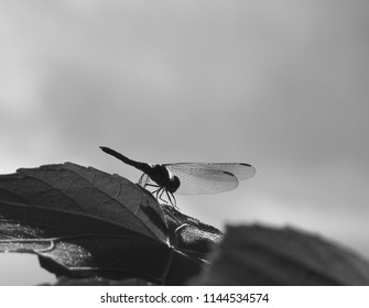 Grayscale photo of a dragonfly against the sky