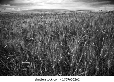 A grayscale shot of the golden wheat blowing in the wind on a wheat field