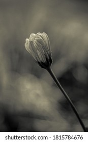 A grayscale shot of a stunning chamomile flower bud