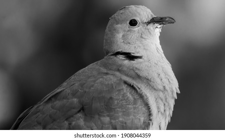 A grayscale shot of a white pigeon on a blurred background