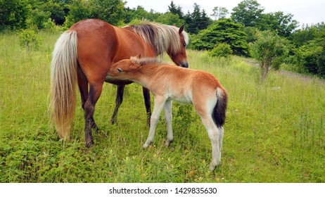 Grayson Highlands State Park, Virginia / USA - June17, 2019: A young colt nursing from his filly mother, both members of the wild pony herd that wanders around Grayson Highlands State Park.