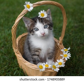 gray-white cute kitten with big blue eyes sits in a wicker basket, looks into the frame. Several white daisies adorn the basket and kitten's head. Cat's childhood, beautiful cards, harmony of nature