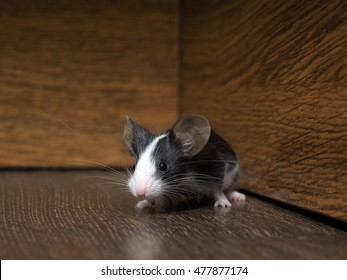 Gray-white furry mouse on the floor in the room