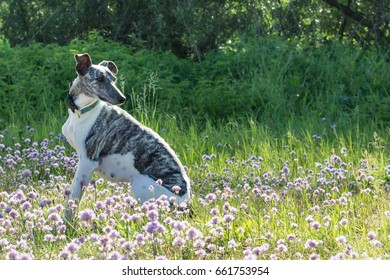 Gray-white whippet sitting on the meadow