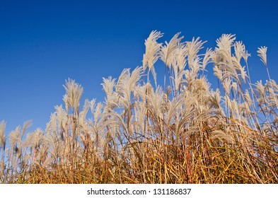 Graziella Maiden Grass (miscanthus sinensis) in autumn against deep blue sky