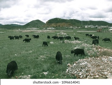 grazing animals,rotational grazing,cows grazing