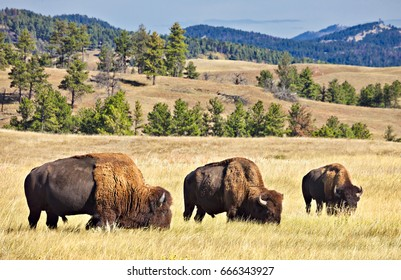 Grazing Bisons on the landscape of grass and hills.
