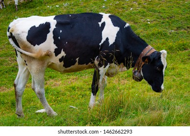 grazing black and white cow in Asiago
