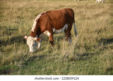 Grazing brown calf in a green pastureland