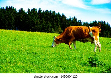 grazing brown cow in Asiago