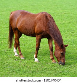 Grazing brown horse on the green Field. Brown horse grazing tethered in a field. Horse eating in the green pasture. Brown horse in a green field.