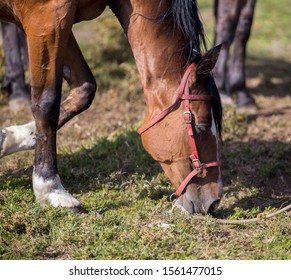 Grazing brown horses on the green Field. Horses grazing tethered in a field. Horses eating in the green pasture. Horses in a green field.