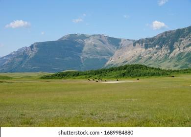 Grazing buffalo in Waterton Lakes National Park in Alberta Canada