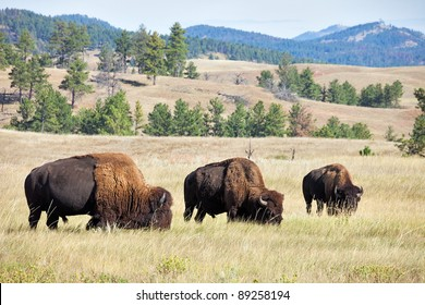 Grazing Buffaloes on prairie in South Dakota.