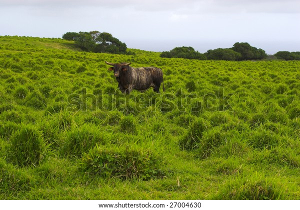 Grazing bull with green grass and sky background