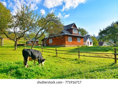 Grazing calf near beautiful rural buildings on sunny day