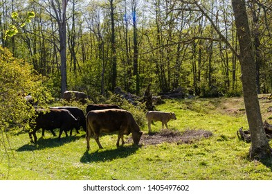 Grazing cattle in a bright and green forest by spring season in the swedish nature reserve Horns Kungsgard on the island Oland
