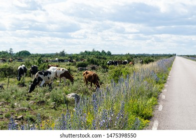 Grazing cattle by a beautiful road side with blossom summer flowers in the  World Heritage  Agricultural Landscape of Southern Oland in Sweden