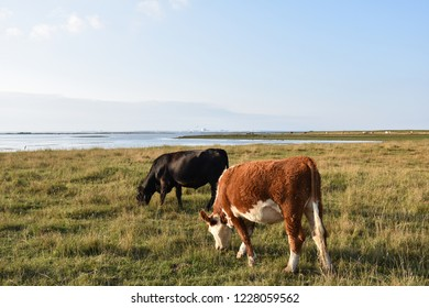 Grazing cattle in a coastal wetland at the swedish island Oland