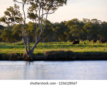 Grazing cattle Dawson River Campground Taree Australia