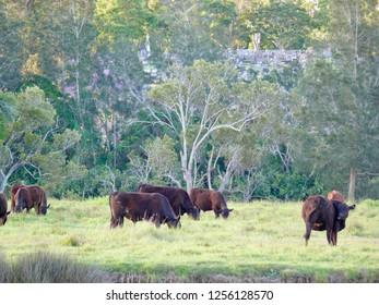 Grazing cattle Dawson River Campground Taree Australia