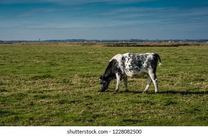 Grazing cattle at the green meadows of the polders at Uitkerke, Blankenberge, Belgium.