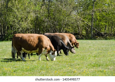Grazing cattle line up in a green pastureland in a swedish nature reserve by Horns Kungsgård on the island Oland