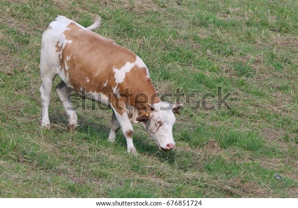 A grazing cattle on the meadow